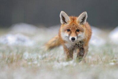 Papiers peints Red Fox en renard hivernal