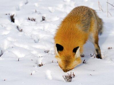 Papiers peints Red Fox Face dans la neige