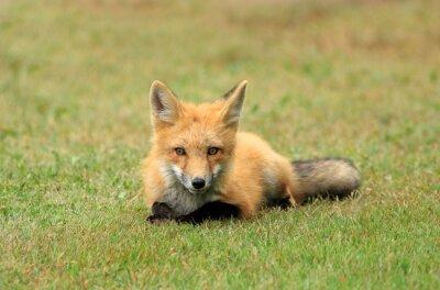 Papiers peints Red Fox Kit posant dans une prairie d'herbe, PEI, Canada