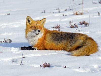 Papiers peints Red Fox se laver le soleil dans la neige