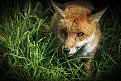 Papiers peints Red Fox (Vulpes vulpes)