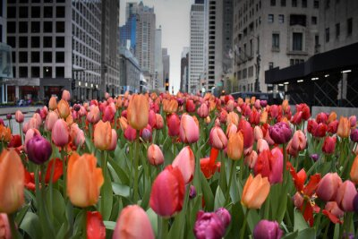 Papiers peints red tulips in Chicago downtown