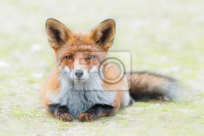 Renard roux couché dans l'herbe en regardant la caméra