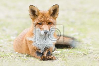 Renard roux couché dans l'herbe, jambes tendues, regardant la caméra