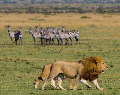Papiers peints Rencontrer le lion et la lionne dans la savane. Parc national. Kenya. Tanzanie. Masai Mara. Serengeti. Une excellente illustration.