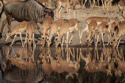 Papiers peints Réserve naturelle d'Impala (Aepyceros melampus) del Timbavati en Afrique du Sud