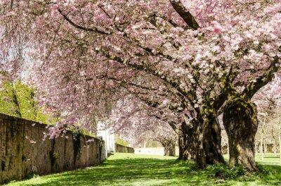 Papiers peints Rêve de printemps: fleurs de cerisier japonais :)