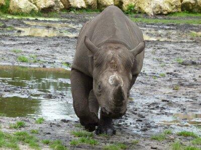 Papiers peints Rhinocéros