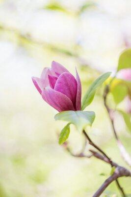 Papiers peints Rose, magnolia, fleur