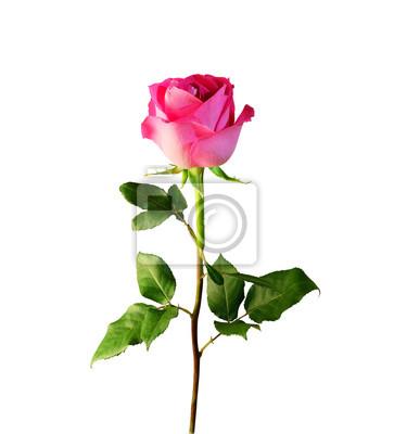 Rose rose avec la tige et les feuilles isol es sur fond - Rose avec tige ...