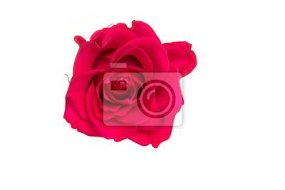 Rose rose isolé sur fond blanc