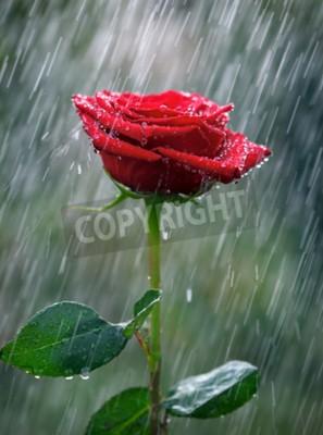 Papiers peints Rose rouge avec des gouttes d'eau dans la pluie