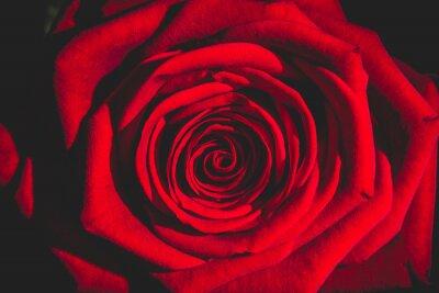 Papiers peints Rose rouge de l'obscurité