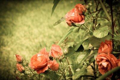 Papiers peints Roses dans le jardin. Vieille image stylisée.