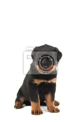 Rottweiler puppy assis et regardant comme il est coupable ou désolé isolé sur un fond blanc