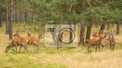 Rouge, cerf, cerf, belling, entouré, femme, cerfs, forêt, automne