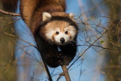 Rouge, panda, arbre, escalade, bleu, ciel