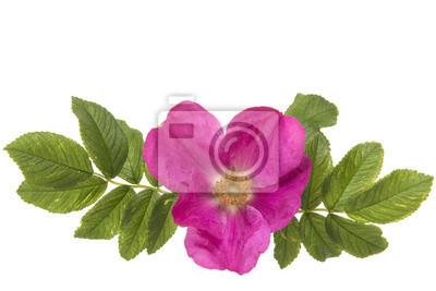 Roz rose sauvage avec les feuilles gauche et droite isolées sur fond blanc