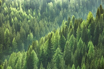 Papiers peints Sain, vert, Arbres, forêt, vieux, épinette, sapin, pin