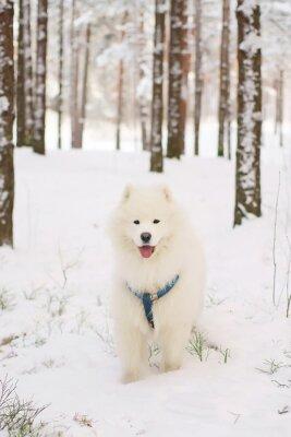 Papiers peints Samoyed, chien, séjour, neigeux, forêt