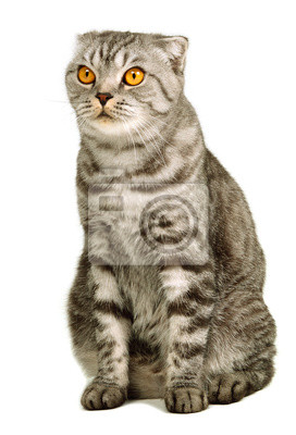 Scottish fold chat assis contre un fond blanc