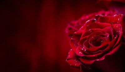 Papiers peints Se leva. Roses rouges. Bouquet de roses rouges. Valentines Day, fond de jour de mariage. Pétales de rose et coeurs Coffrets cadeaux Valentine. Valentines et mariage frontière. Des gouttes d'eau sur de