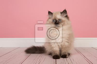 Seal Point persan chaton poil long assis dans un salon rose à la recherche de suite