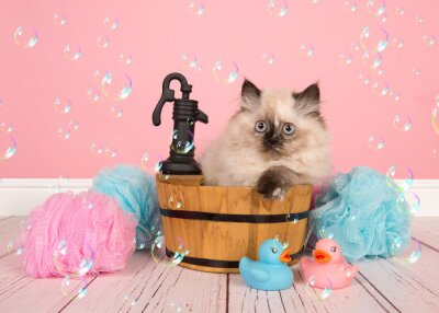 Seal point persian longhair kitten sitting in a bathroom tub in a  bathroom with soap bubbles on a pink background