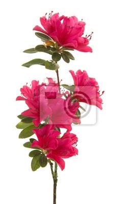 seule branche avec des fleurs roses blosseming isolé sur un fond blanc dans une image verticale