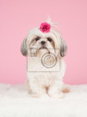 Shih Tzu Dog douce avec un arc rose à une backgrond rose