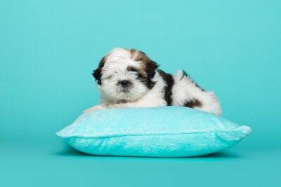 Shih tzu puppy lying on a blue cushion on a blue background