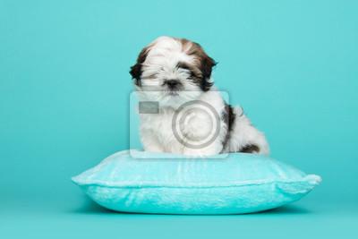 Shih tzu puppy sitting on a blue cushion on a blue background