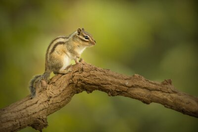 Siberian chipmunk seen from the side resting on a branch in a forest