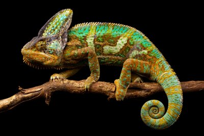 Papiers peints Side on picture of a yemen chameleon isolated on a black background