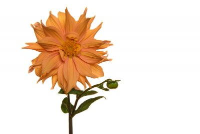 Single blooming orange chrysant flower with stem isolated on a white background