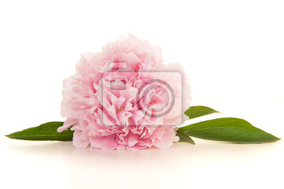 Single blooming pink peony flowers lying on a white background