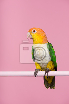 Single caique bird looking at the side on a pink background with space for copy
