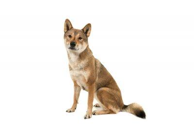 Skikoku chien assis et regardant la caméra isolée sur fond blanc