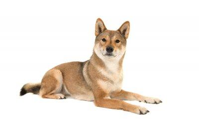 Skikoku chien couché et regardant la caméra isolé sur un fond blanc vu de côté