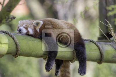 Papiers peints Sleeping Red Panda. Image mignonne mignonne animée.