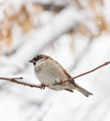 Papiers peints Sparrow nature hivernale