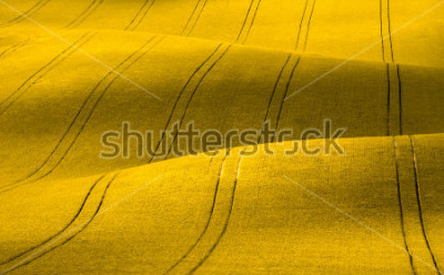 Papiers peints Spring Wavy yellow rapeseed field with stripes and wavy abstract landscape pattern. Corduroy summer rural rape landscape.Yellow moravian undulating fields of crops.Yellow Background texture