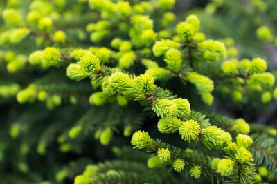 Papiers peints spruce branch with young shoots close-up