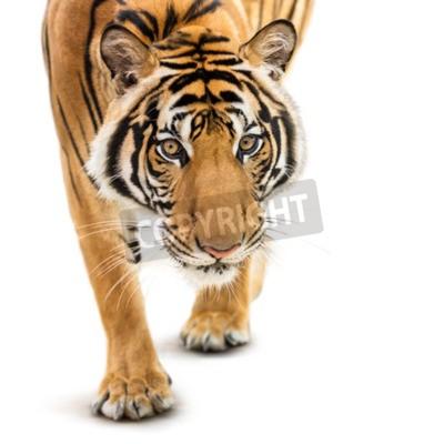 Papiers peints Stalking jeune tigre sibérien isolé sur fond blanc