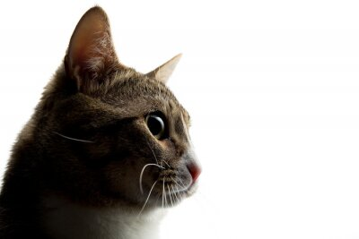Studio shot of an adorable gray and brown tabby cat sitting on white background close up isolated