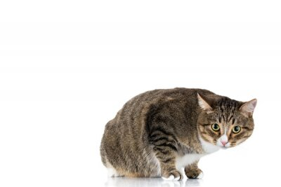 Studio shot of an adorable gray and brown tabby cat sitting on white background isolated