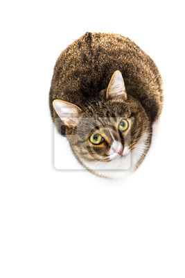 Studio shot of an adorable gray and brown tabby cat sitting on white background top isolated