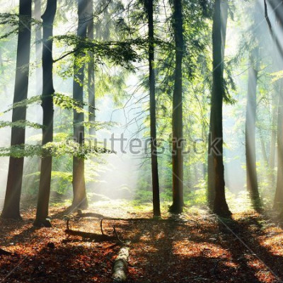 Papiers peints Sun rays in a fog in a misty morning green forest. Osnabruck, germany