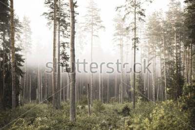 Papiers peints sun rising in mist covered forest. sun rays in fog with low visibility - vintage retro look