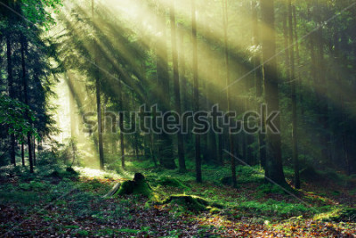 Papiers peints Sunrays reaching through the Fir Trees in the Morning after heavy Rain